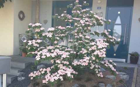 Bepflanzung Cornus kousa